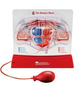 Модел на човешката кръвоносна система