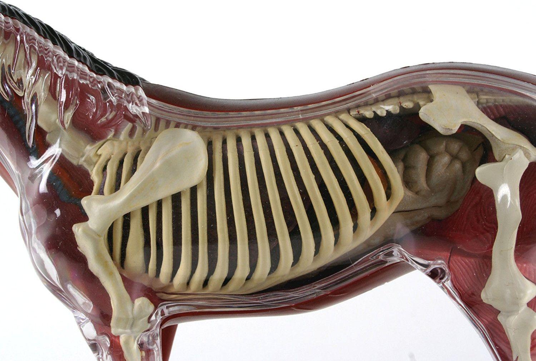 Сглобяем модел на кон Revell - Horse Anatomy Model (02099) - 4