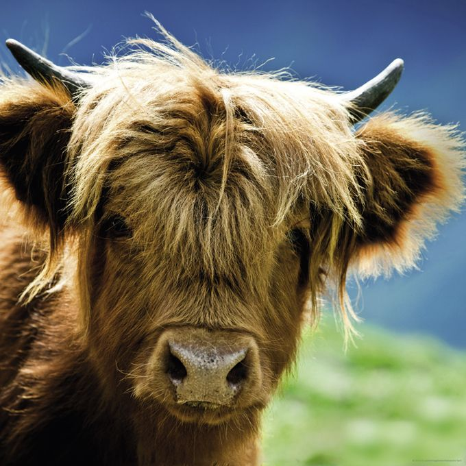 Пъзел Heye от 1000 части - Високопланинска крава - 2