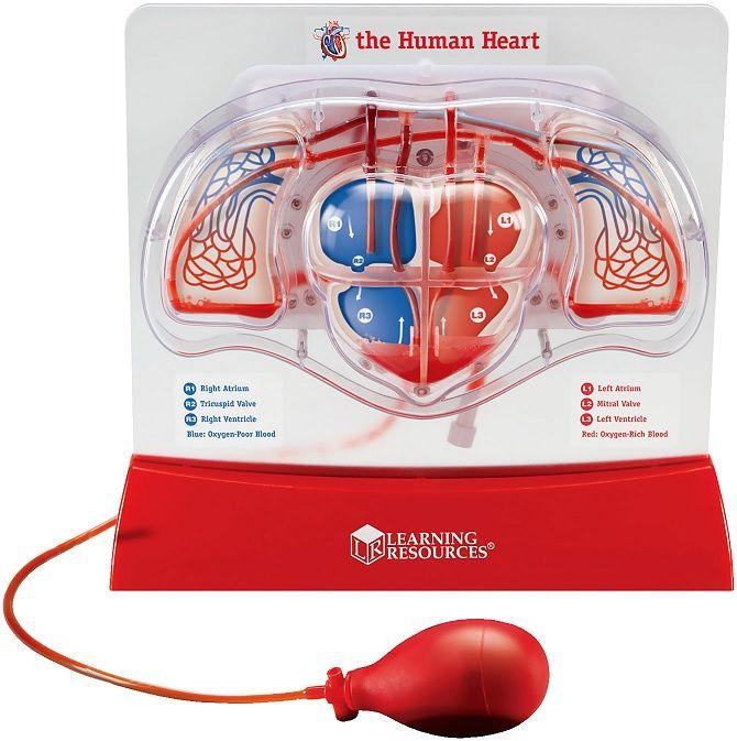 Модел на човешката кръвоносна система - 1