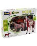 Сглобяем модел на кон Revell - Horse Anatomy Model (02099) - 6t